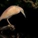 ralreiger-squacco-heron-11