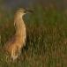ralreiger-squacco-heron-15