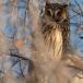 ransuil-long-eared-owl-02