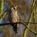 ransuil-long-eared-owl-05