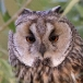 ransuil-long-eared-owl-06
