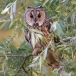 ransuil-long-eared-owl-07