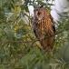 ransuil-long-eared-owl-09