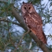 ransuil-long-eared-owl-10