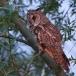 ransuil-long-eared-owl-11