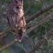 ransuil-long-eared-owl-12