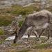 rendier-reindeer-07