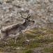 rendier-reindeer-11