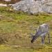 rendier-reindeer-14