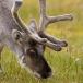 rendier-reindeer-15