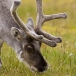 Rendier – Reindeer