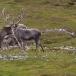 rendier-reindeer-19
