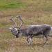 rendier-reindeer-20