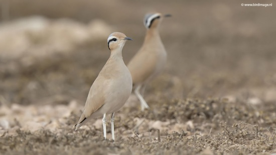 Renvogel - Cream-colored Courser 13