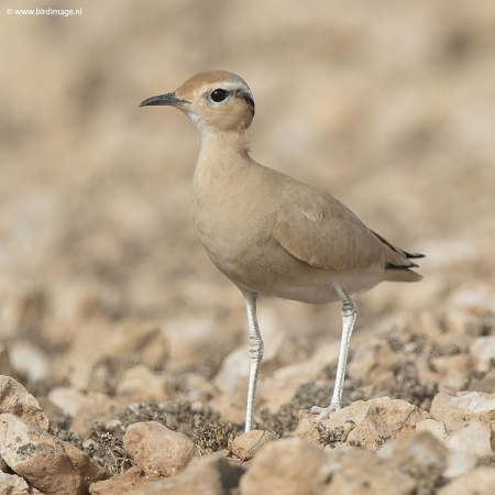 Renvogel - Cream-colored Courser 18