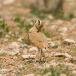 renvogel-cream-colored-courser-01