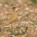 renvogel-cream-colored-courser-02