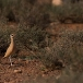 renvogel-cream-colored-courser-03