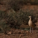 renvogel-cream-colored-courser-04