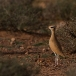 renvogel-cream-colored-courser-05