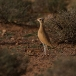 renvogel-cream-colored-courser-06