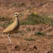renvogel-cream-colored-courser-08