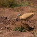 renvogel-cream-colored-courser-09
