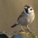 ringmus-eurasian-tree-sparrow-01