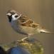 ringmus-eurasian-tree-sparrow-02