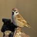 ringmus-eurasian-tree-sparrow-04