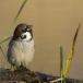 ringmus-eurasian-tree-sparrow-08