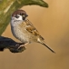 ringmus-eurasian-tree-sparrow-09