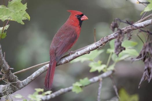 Rode kardinaal - Northern Cardinal 002