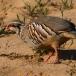 rode-patrijs-red-legged-partridge-02