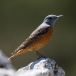 Rode Rotslijster – Common Rock Thrush