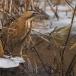 roerdomp-eurasian-bittern-14