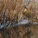 roerdomp-eurasian-bittern-18