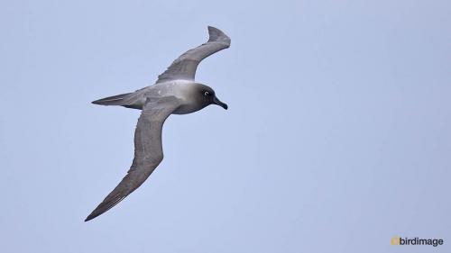 Roetkopalbatros_Light-mantled Sooty Albatross 04