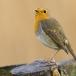 roodborst-european-robin-03
