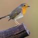 roodborst-european-robin-04