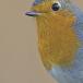 roodborst-european-robin-06