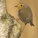 roodborst-european-robin-09