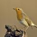 roodborst-european-robin-10