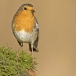 roodborst-european-robin-11