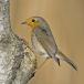 roodborst-european-robin-12