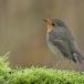 roodborst-european-robin-13