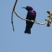 Roodbuikhoningzuiger – Splendid Sunbird