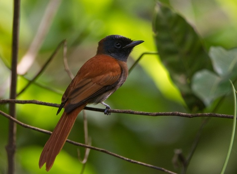 roodbuikparadijsmonarch-red-bellied-paradise-flycatcher-02