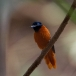 hybride-roodbuikparadijsmonarch-hybrid-red-bellied-paradise-flycatcher-02