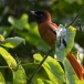 roodbuikparadijsmonarch-red-bellied-paradise-flycatcher-01